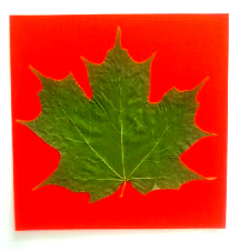 Sugar Maple Leaf 7.2.2017