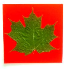 Sugar Maple Leaf 7.2.2017